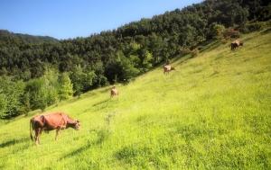 pascolo montano vacca vacche razza bruna
