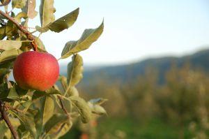mela montana