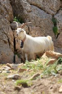 capra capretto razza orobica bionda adamello saanen camosciata alpi prodotto prodotti montagna montagne