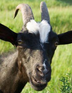 capra capre prodotto prodotti montagna