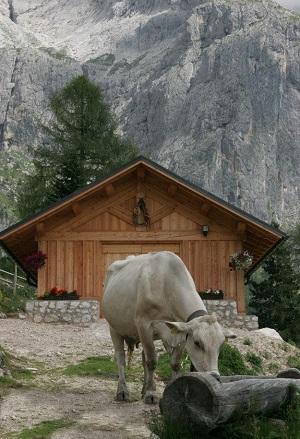 mucca vacca baita chalet prodotto prodotti montagna razza bruna