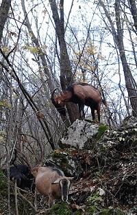 capra capre razza camosciata delle alpi allevamento brescia lombardia montagna azienda agricola il caprino di cariadeghe di ronchi paolo serle brescia