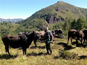 vacche pascolo Azienda Freddi Cristian Vobarno Valle Sabbia