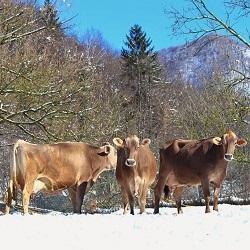 vacche benessere azienda agricola Cerini Varallo