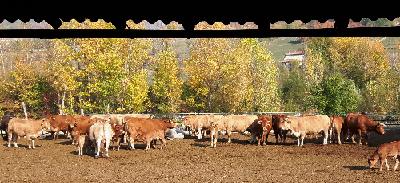allevamento vacche limousine Azienda Agricola Il Biancospino