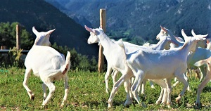capre razza Saanen Azienda Agricola Grezzini Ines Tremosine sul Garda