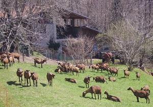 GreenFantasy allevamento capre